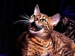 мяукающая кошка