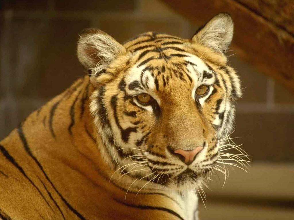 Звуки тигров скачать бесплатно