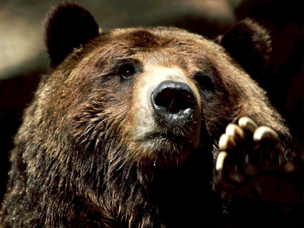 Скачать звуки медведя бесплатно
