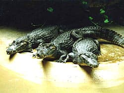 Американский, или миссисипский аллигатор (Alligator mississippiensis)