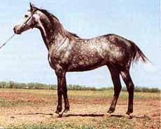 чистокровная верховая лошадь, английская чистокровная лошадь, фото фотография, лошади кони
