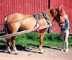финская лошадь, финская порода лошадей, фото фотография, лошади кони
