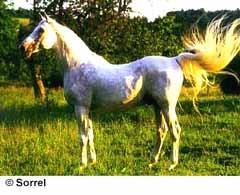 шагия, лошадь породы шагия, фото фотография, лошади кони