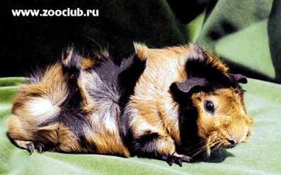 Абиссинская морская свинка, розеточная морская свинка, фото фотография, грызуны