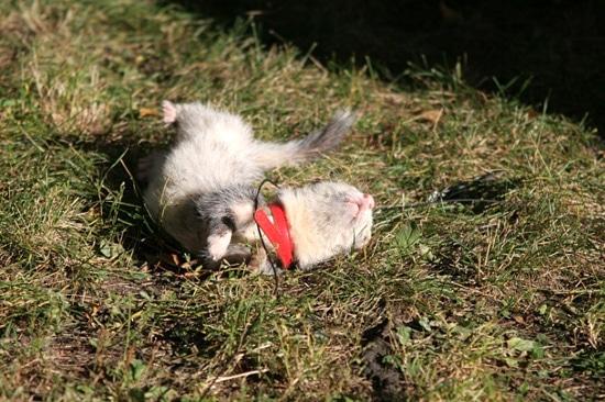 Домашний хорёк фретка фуро, фото фотографии куньи