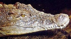 аллигатор китайский (Alligator sinensis), фото, фотография