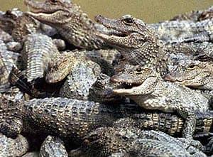 китайский аллигатор (Alligator sinensis), фото, фотография