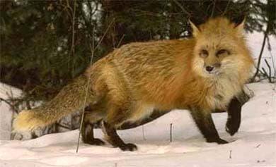 лиса, лисица, обыкновенная лиса, фото, фотография