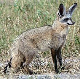 большеухая лисица (Otocyon megalotis), фото, фотография