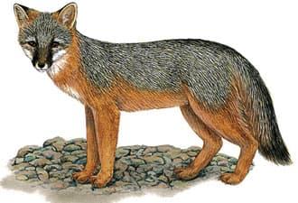 островная лисица, островная серая лиса (Urocyon littoralis), фото, фотография