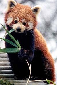 малая панда, красная панда (Ailurus fulgens), фото, фотография
