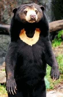 малайский медведь, бируанг, медовый медведь, солнечный медведь (Helarctos malayanus), фото, фотография