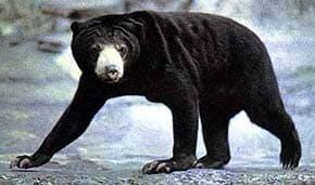 медовый медведь, малайский медведь, бируанг, солнечный медведь (Helarctos malayanus), фото, фотография