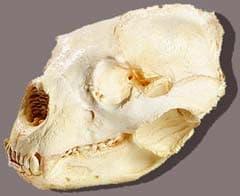 череп очкового медведя (Tremarctos ornatus), фото, фотография