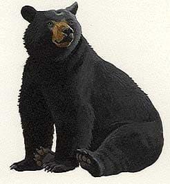черный медведь, североамериканский черный медведь, барибал (Ursus americanus, Euarctos americanus), фото, фотография