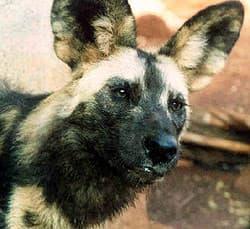 гиеновая собака, гиеновидная собака (Lycaon pictus), фото, фотография