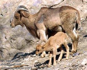 гривистый баран, баран гривистый (Ammotragus lervia), фото, фотография с http://hlasek.com/
