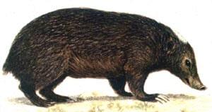 палаванский вонючий барсук (Mydaus marchei), фото, фотография с http://lioncrusher.com/