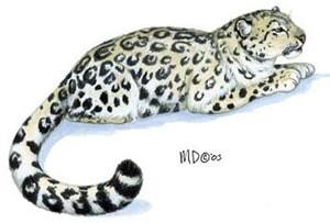 cнежный барс, ирбис (Uncia uncia), рисунок, картинка