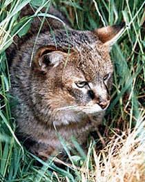 болотная рысь (Felis chaus), фото, фотография