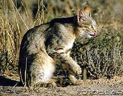 степная кошка (Felis lybica), фото, фотография