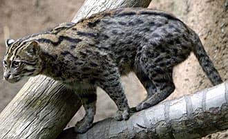 виввеpина, кошка-рыболов (Felis viverrina), фото, фотография