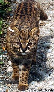южноамериканский кодкод, чилийская кошка (Oncifelis guigna, Felis guigna), фото, фотография с www.catsurvivaltrust.org