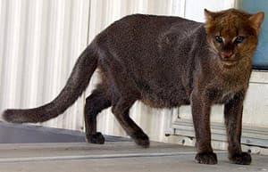 ягуарунди, эйра (Felis yagouaroundi), фото, фотография с http://endangeredmammals.files.wordpress.com