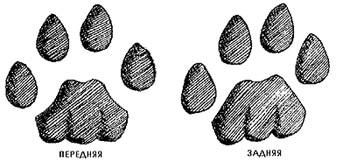 следы пумы, кугуара (Puma concolor), фото, фотография