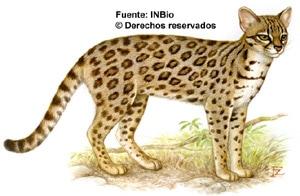 онцилла (Leopardus tigrinus, Felis tigrina), фото, фотография c http://attila.inbio.ac.cr