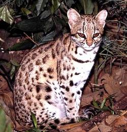 онцилла, малая пятнистая кошка (Leopardus tigrinus), фото, фотография c http://redescolar.ilce.edu.mx