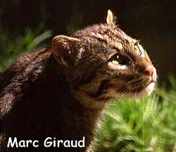 Плоскоголовая кошка (Felis planiceps), фото фотография c http://www.newscientist.com/data/images/ns/cms/dn18410/dn18410-1_300.jpg