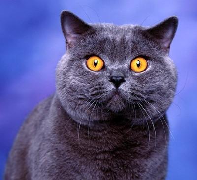Британская короткошерстная кошка. Фото фотография, кормление кошек собак