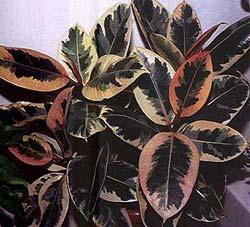 Фикус каучуконосный  Комнатные растения и цветы Floretsru