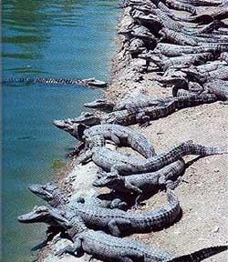 нильский крокодил, фото, фотография