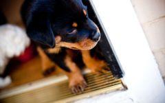 Куплю щенка ротвейлера