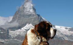 Порода собак сенбернар