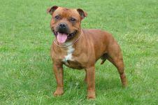 Собака стаффордширский бультерьер