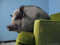 Карликовая свинья, фотография фото обои