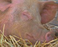 Спящая свинья