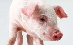 Поросёнок домашней свиньи