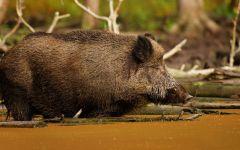Дикая свинья кабан