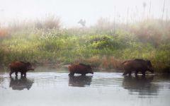 Кабаны идущие по воде
