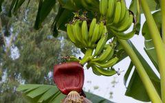 Зеленые бананы на ветке