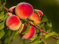 Ветка персикового дерева с плодами