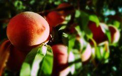 Дерево персик, фото фотобои фотография  обои