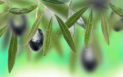 Оливы на ветке фото