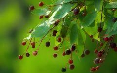 Ирга ягоды фото
