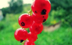 Красная смородина крупным планом