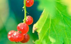 Спелые ягоды красной смородины